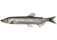 how long to boil capelin