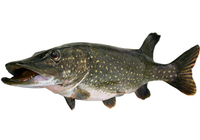 How long to boil pike